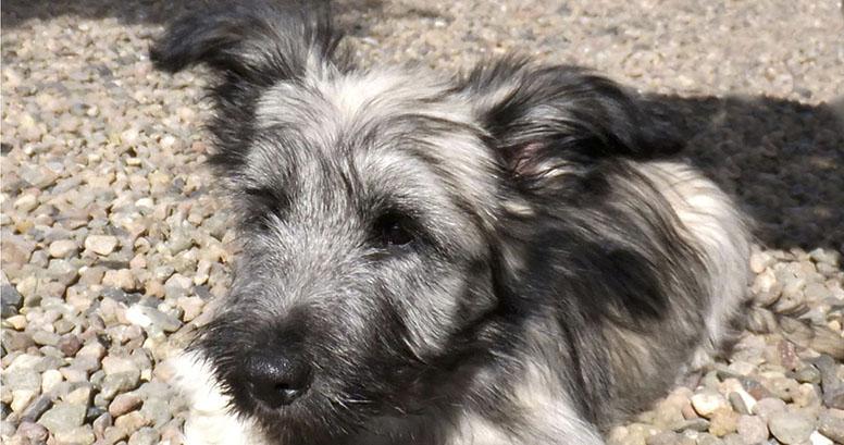 Skye Puppies