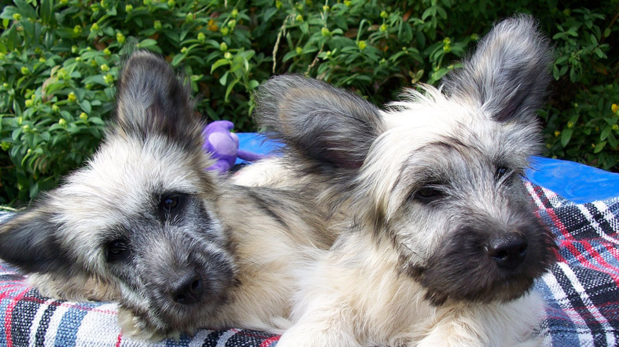 skye terrier for sale skye terrier puppy for sale goldenacresdogs com 2312